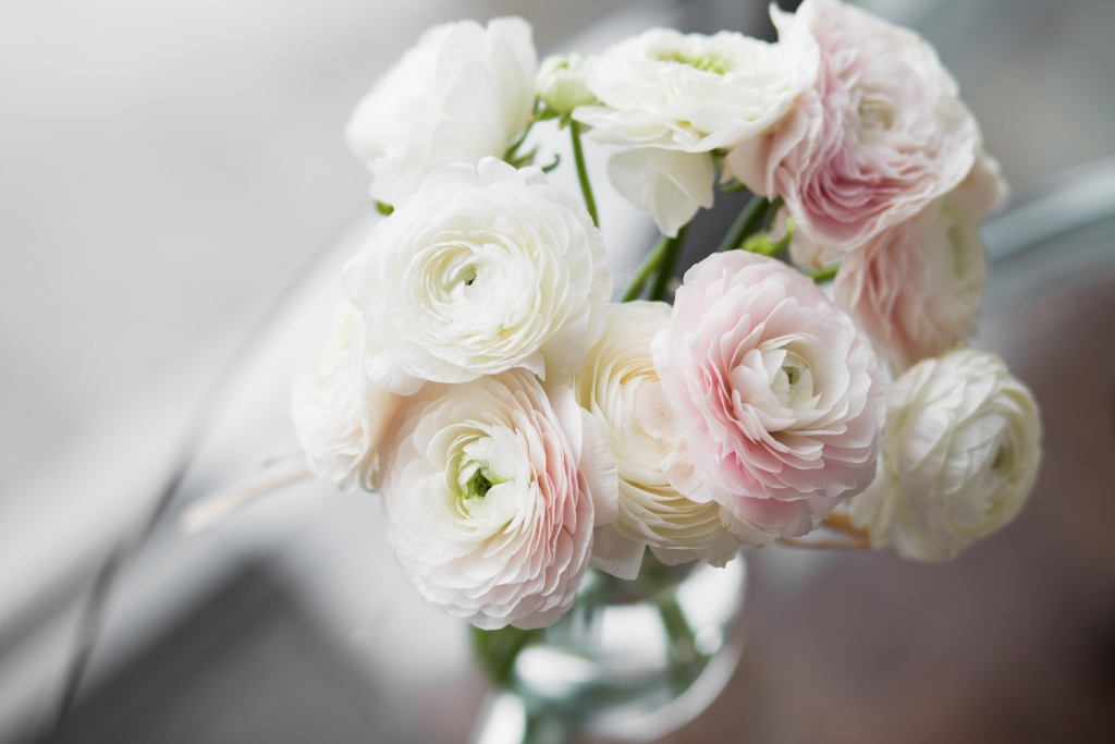 white and pink ranunculus in vase