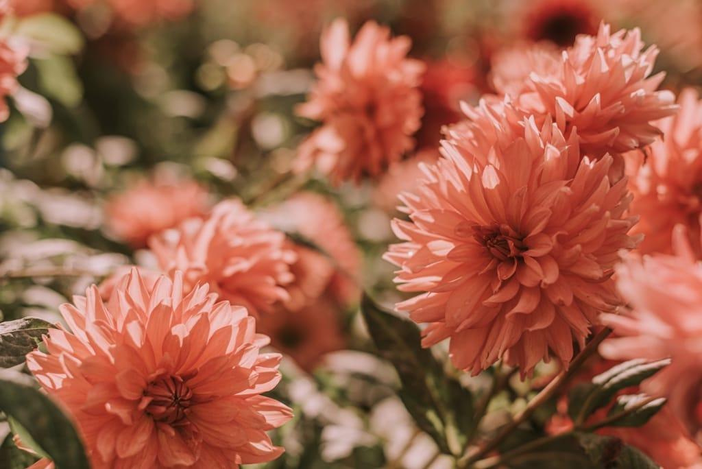 group of pink dahlias