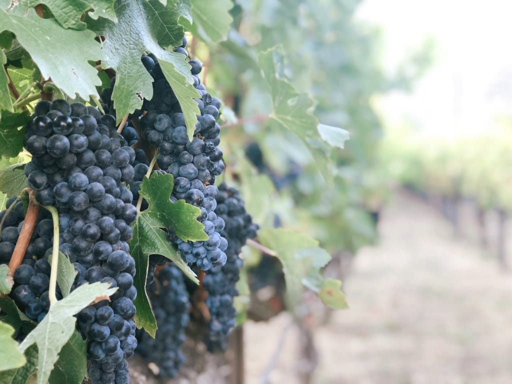 grapes hanging off a grapevine in a vineyard as proposal setting