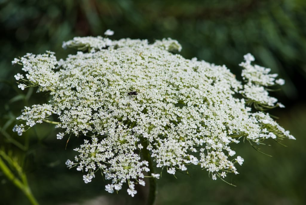 cluster of queen anne's lace flower