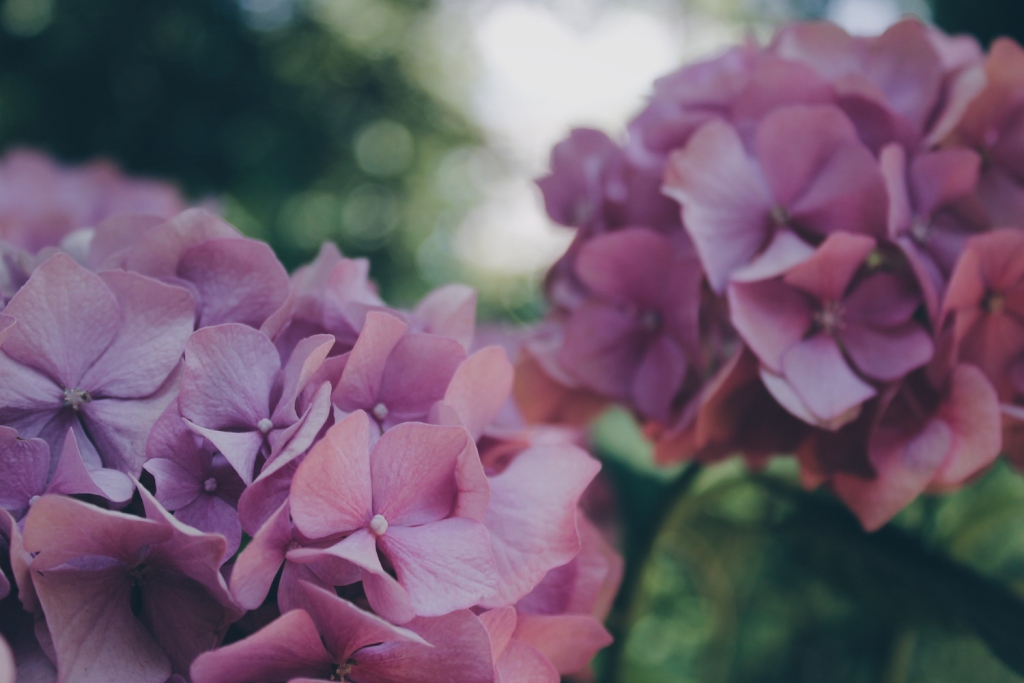 two pink hydrangea clusters